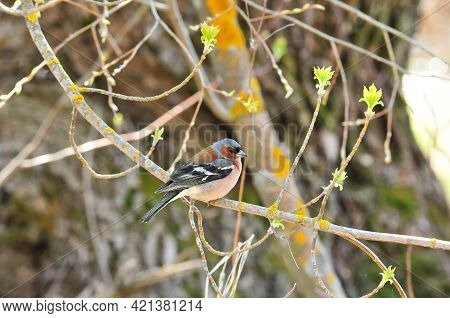 The Finch Sits On A Branch. Chaffinch. Songbird Finch Male.