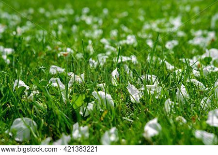 White Petals Of Apple-tree Flowers Lie On The Grass.