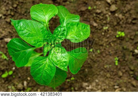 A Stalk Of Pepper With Green Leaves On A Background Of Soil.