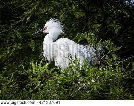 Portrait Of A Snowy Egret Displaying His Breeding Plumage And Red Eye Coloring In A Florida Cypress