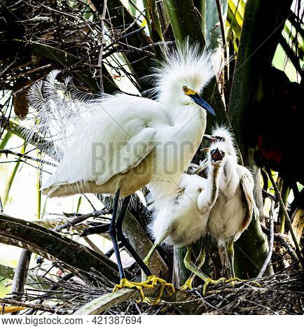 Close Up Of A Mother Snowy Egret In Her Nest In A Florida Palm Tree With Two Nestlings With Open Mou