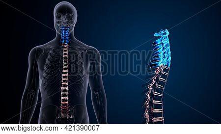 Human Skeleton Vertebral Column Cervical Vertebrae Anatomy 3d Illustration