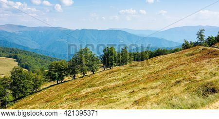Beech Trees On The Grassy Hill. Carpathian Mountain Landscape On A Bright Day In Early Autumn. Wonde