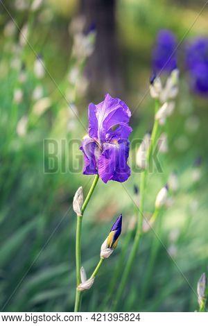 Vertical Photo Of A Beautiful Bud Of Purple Iris Flower (selective Focus, Bokeh)