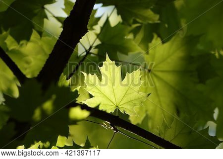 Spring maple leaves forest Nature background Nature background Nature foliage twig Nature branch tree Nature background Nature background lush Nature fresh Nature green Nature background Nature background yellow leaf Nature background Nature background.