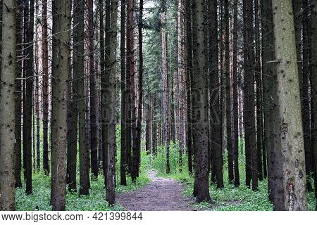 Forest Path Going Deep Into The Pine Forest. Forest Background, The Concept Of Hiking. Straight Vert