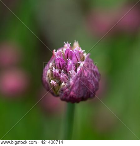 Flower Bud Of Allium Purple Sensation Allium In Summer Garden