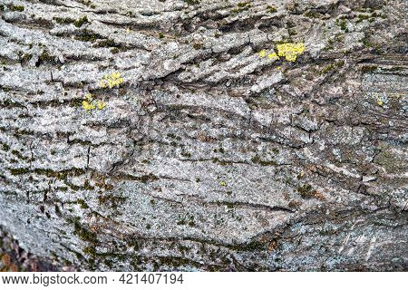 Tree Bark. The Texture Of The Bark Of A Tree. Natural Creative Texture For Editing And Design. Free