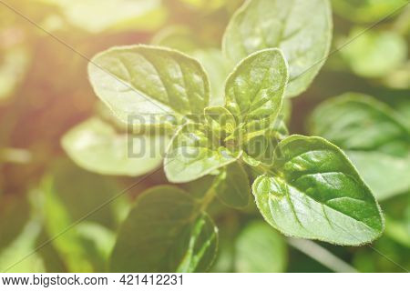 Oregano Plant With Green Leaves On Bright Sunlight Growing In Garden. Harvesting Flavouring For Cook