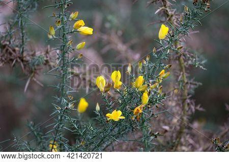 Yellow Common Gorse, Ulex Europaeus, Blooming On Wimbledon Common, London In The