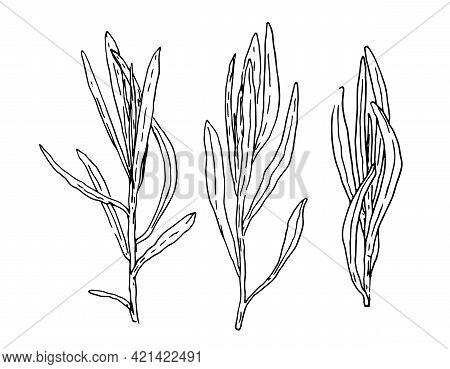 Retro Sketch Pattern With Black Tarragon Sketch Wreath On White Background. Herbal Illustration.spic