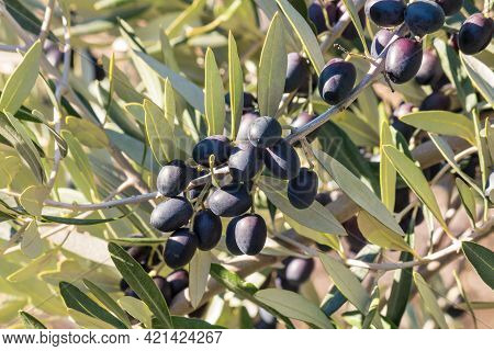 Closeup Of Black Spanish Olives Ripening On Olive Tree Branch With Blurred Background
