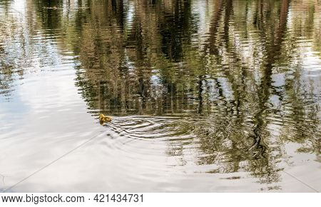 Cute Little Duckling Swimming Alone In A Pond With Green Water.