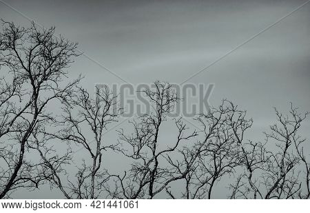 Bare Tree On Gray Sky Background. Silhouette Dead Tree. Background For Dead, Lonely, Hopeless, And S