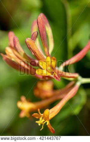 Beautiful Flower Of Honeysuckles Blooming In The Garden, Close Up