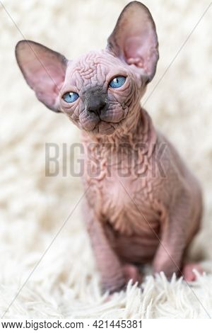 Portrait Of Adorable Canadian Sphynx Cat Kitten With Big Blue Eyes Sitting On White Carpet With Long