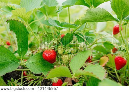 Strawberry Plant Bush, Ripe Strawberry And Foliage. Strawberries In Growth At Garden. Rural Farm Wit