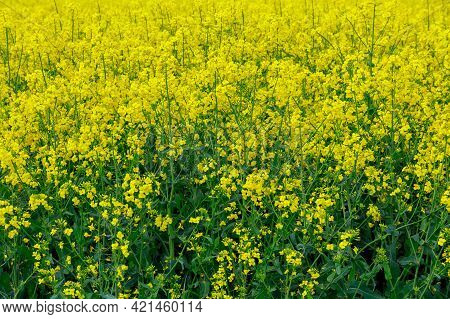 Landscape With Yellow Rapeseed Field. Biofuel. Bright Yellow Rapeseed Oil.