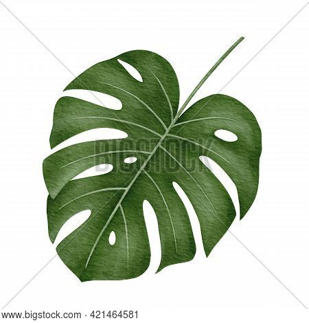 Monstera Deliciosa Tropical Leaf Hand-drawn Watercolor Illustration Isolated On White Background
