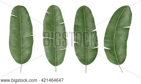 Banana Tropical Leaves Hand-drawn Watercolor Illustration Isolated On White Background