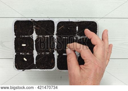 Sowing In Vegetable Trays Beans Croissants Green Beans Beans