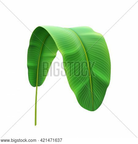 Banana Plant Leaf Bend And Curved Tropical Foliage, Trendy Botany Of Jungles Or Exotic Forests. Vege