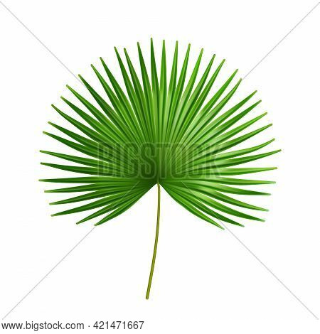Exotic Plant Of Palmetto Flower, Isolated Tropical Leaves Of Summer Or Spring. Flora And Vegetation,