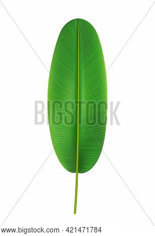 Elongated And Rounded Banana Tree Leaf, Isolated Tropical Leafage And Foliage. Exotic Nature And Veg