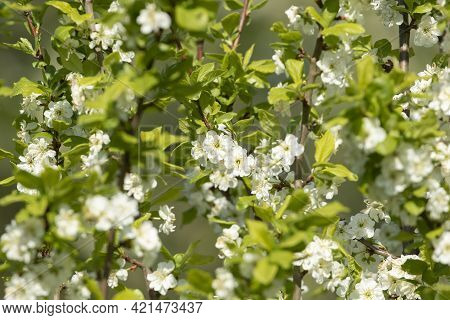 Pretty Double-flowered Blooms Of The European Plum Tree (prunus Domestica) Flowering During Spring I