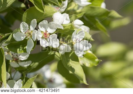 Close- Up Of Pyrus Communis (european Pear, Common Pear) Flowers Blooming In White Blooms On Natural