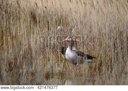 Nesting Greylag Geese Watchful In The Reeds. Bird Breeding Area And Dune Nature Reserve, Reed Collar