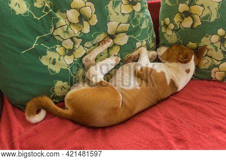 Depressed Basenji Dog With Broken Bandaged Hind Feet Lying On Human Pillow On  Sofa