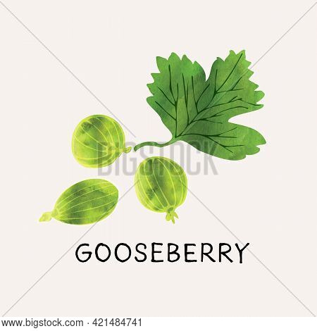 Green Gooseberry Illustration Vector Set With Watercolor Texture And Line Art. Hand Drawn Fully Isol