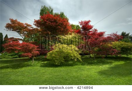 Maples Tree