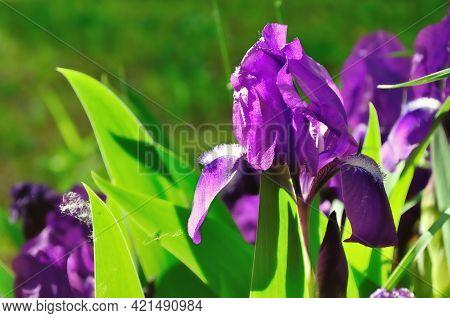 Spring flower background, spring purple iris flower under bright sunset light. Focus at the flower. Shallow depth of field. Spring flower, spring garden, sunny spring landscape, spring flower landscape