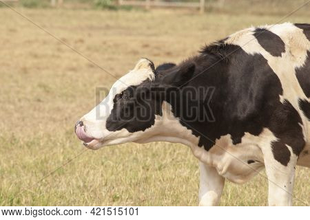 Black And White Cow Picture In Farm.