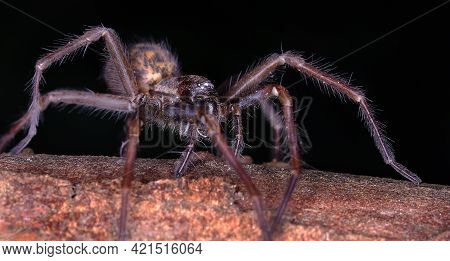 The Spider Species Tegenaria Domestica, Commonly Known As The Barn Funnel Weaver In North America An