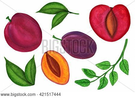 Watercolor Plum Set Isolated On White Background. Chinese Plum And Prune Damson Fruit Whole And Halv