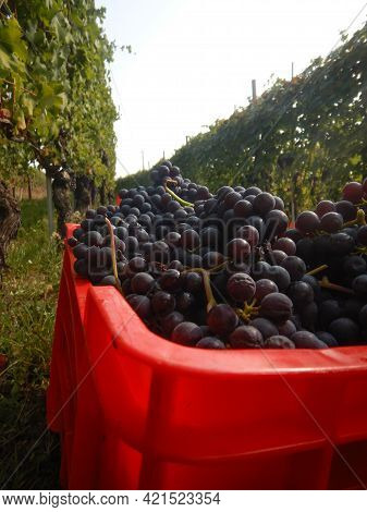 Bunches Of Nebbiolo Grapes In A Basket. Langhe, Piedmont - Italy