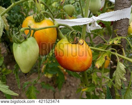 Close Up Of  Bunch Of Ripening Tomatoes On Plant In Garden, Healthy Antioxidant Rich Food