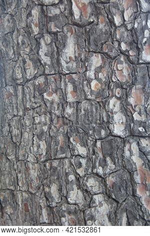 Pine Tree Bark Texture Background Close Up