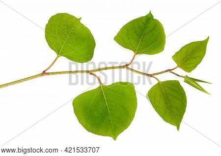 Asian Knotweed Branch Isolated On White Background