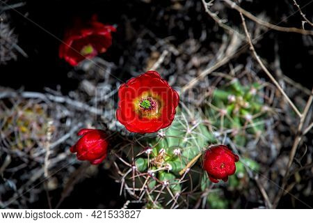 Barrel Cactus Flowering Blooming Red Vibrant Blossom Showing Life Thriving In Dry Arid Desert Climat