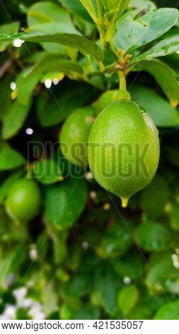 Juicy Lemons On Plant   Terrace Gardening   Home Grown Lemons   Lemon Plant On Big Container With Ju