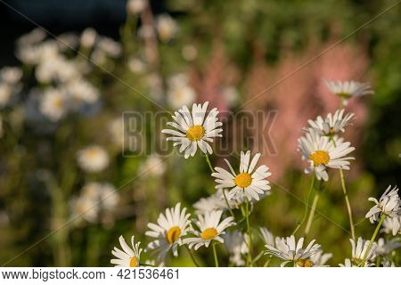Wild Chamomile. White Flowers. Selective Focus. Chamomile Field Flowers Border. Beautiful Nature Sce