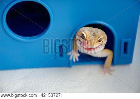Lizard Shows Its Tongue. Concept Of Keeping Lizard At Home. Funny Pets. Adult Eublefar Lizard Licks
