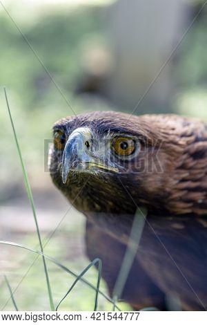 Golden Eagle, Portrait Of A Bird. Keeping Birds Of Prey In Captivity.