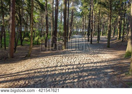 Sandy Path To The Beach Through The Pine Forest At Baltic Sea In Poland
