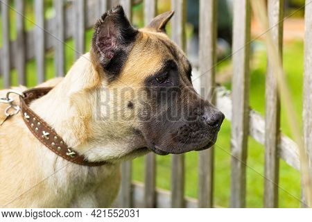 Pedigree Young Dog Cane Corso Protecting The Territory By The Fence