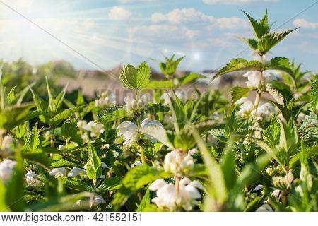 A Group Of Flowering Nettles - Herbal Medicine